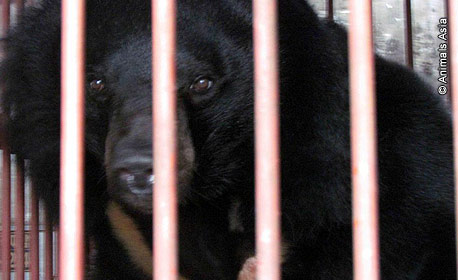 Urso Moon Bear enjaulado na China - AntonioBorba.com